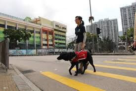 A guide dog leading a visually impaired woman across the street.